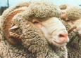 Ovis aries (sheep)